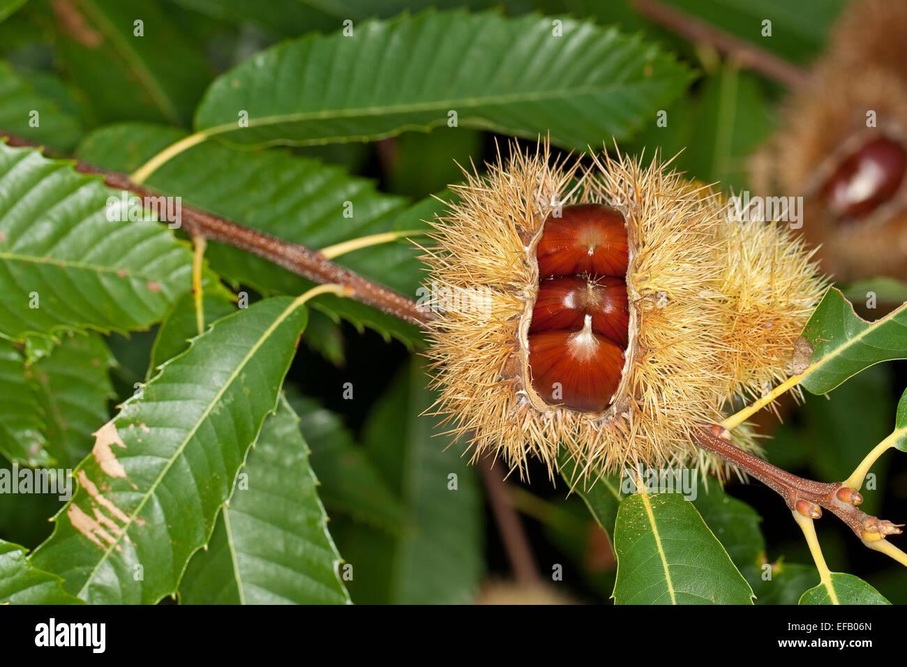 Spanisch caramel obst edelkastanie esskastanie echten - Baum auf spanisch ...