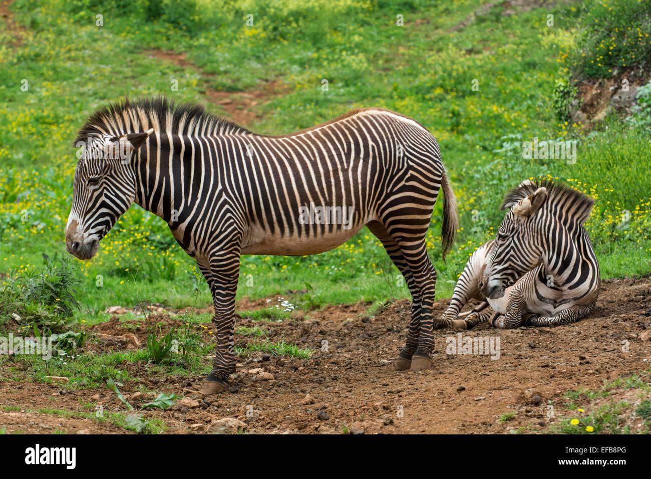 Zwei Grévy-Zebras / imperial Zebra (Equus Grevyi) stammt aus Kenia und Äthiopien Stockfoto