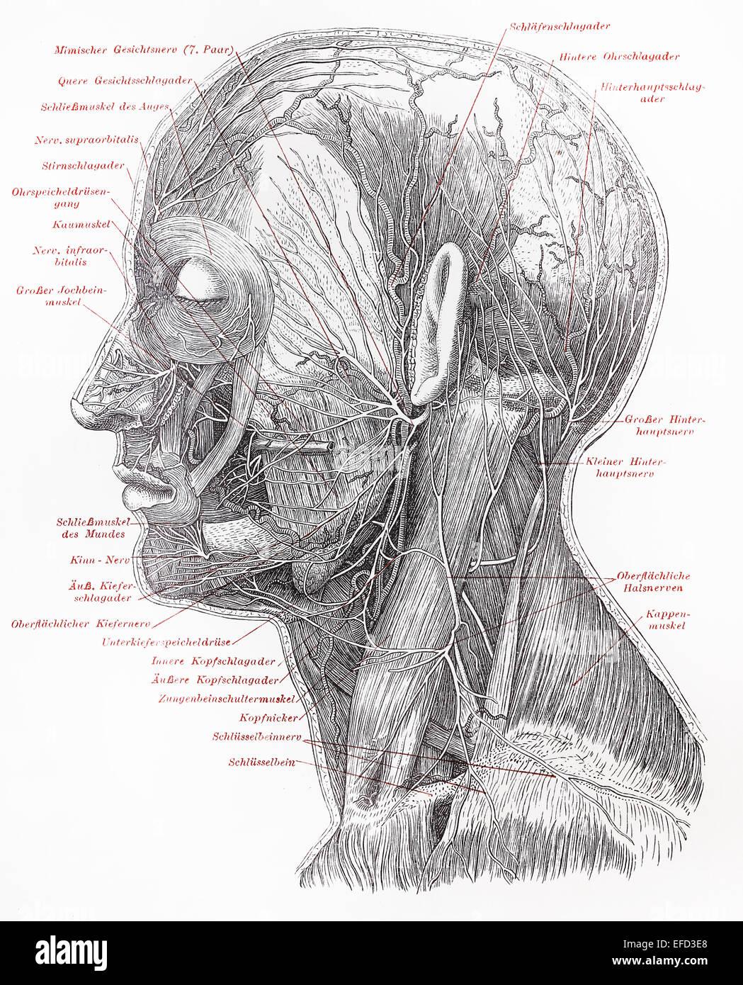 Jahrgang des 19. Jahrhunderts, die Zeichnung des menschlichen ...