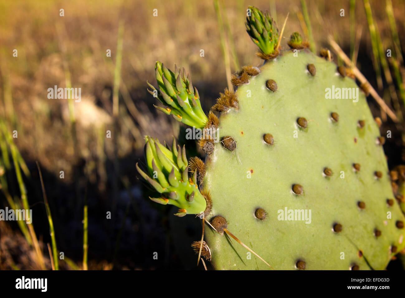 Knospen auf Opuntia Kaktus auch bekannt als Nopales oder Paddel Kaktus oder Prickley Pear cactus Stockbild