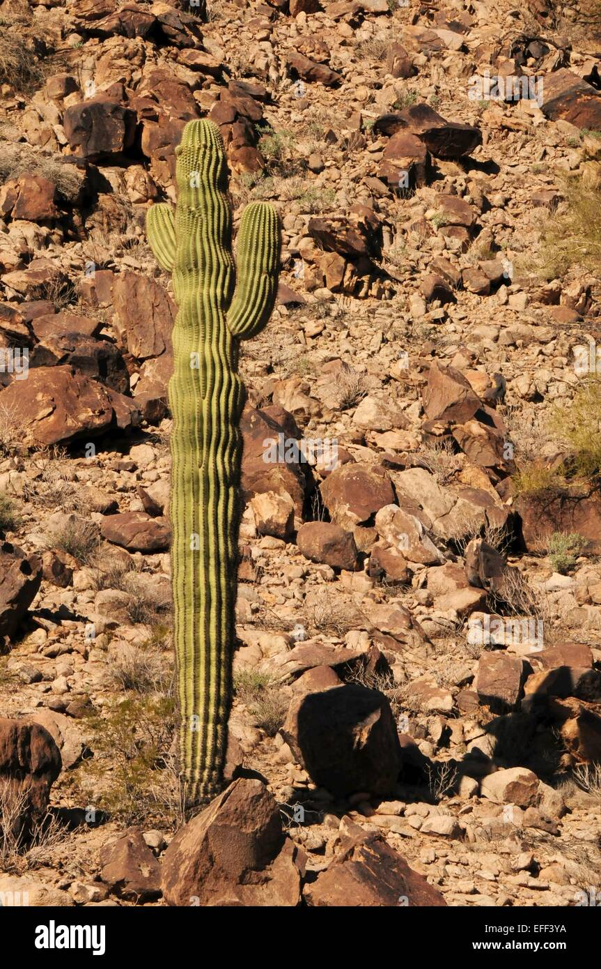 Saguaro-Kaktus steht allein unter Felsbrocken am Hang Arizona - USA Stockfoto
