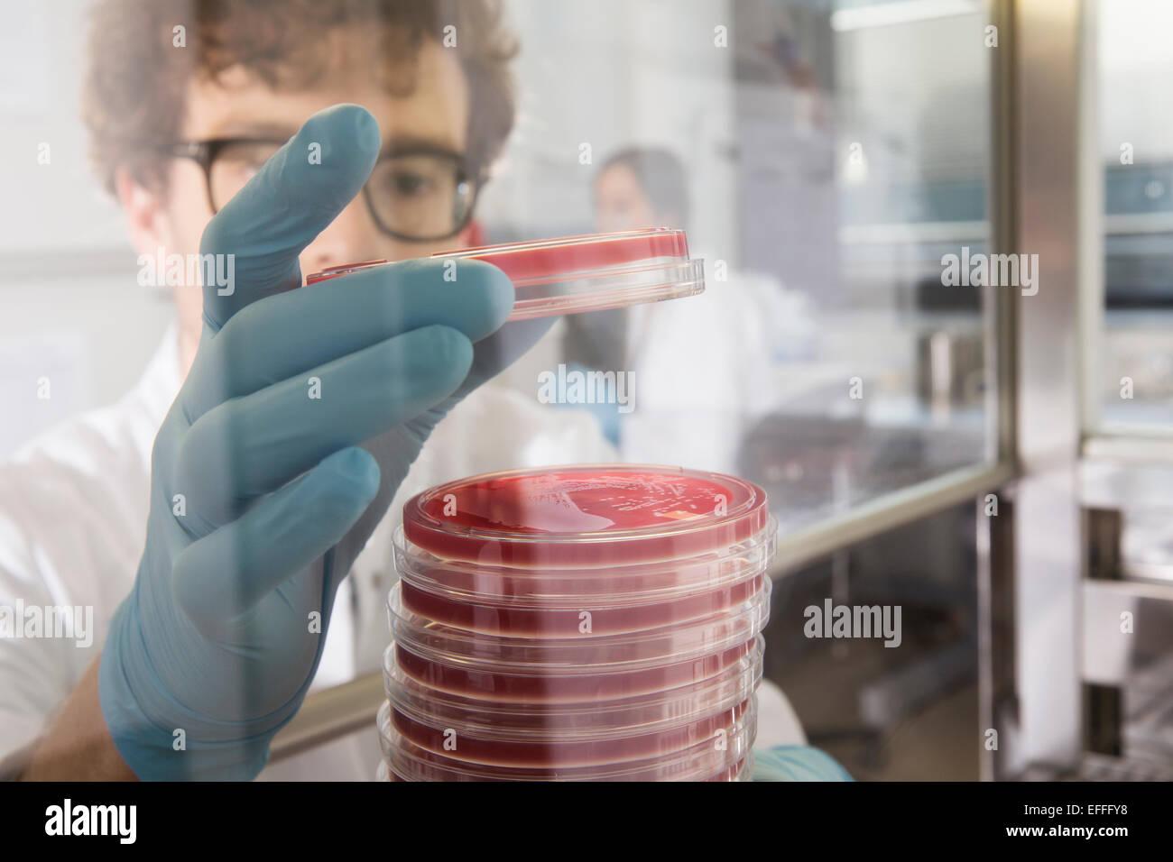 Wissenschaftler arbeiten mit Bakterienkulturen im Labor Stockbild