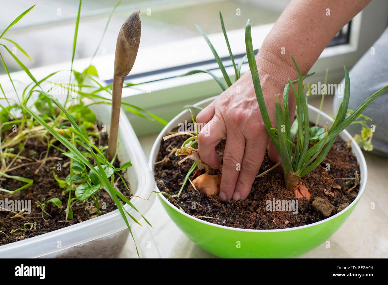 Weibliche Hände Pflanzen Zwiebeln zu Hause als ein Mikro-Landwirtschaft. Indoor gardening, Umweltthemen Stockbild