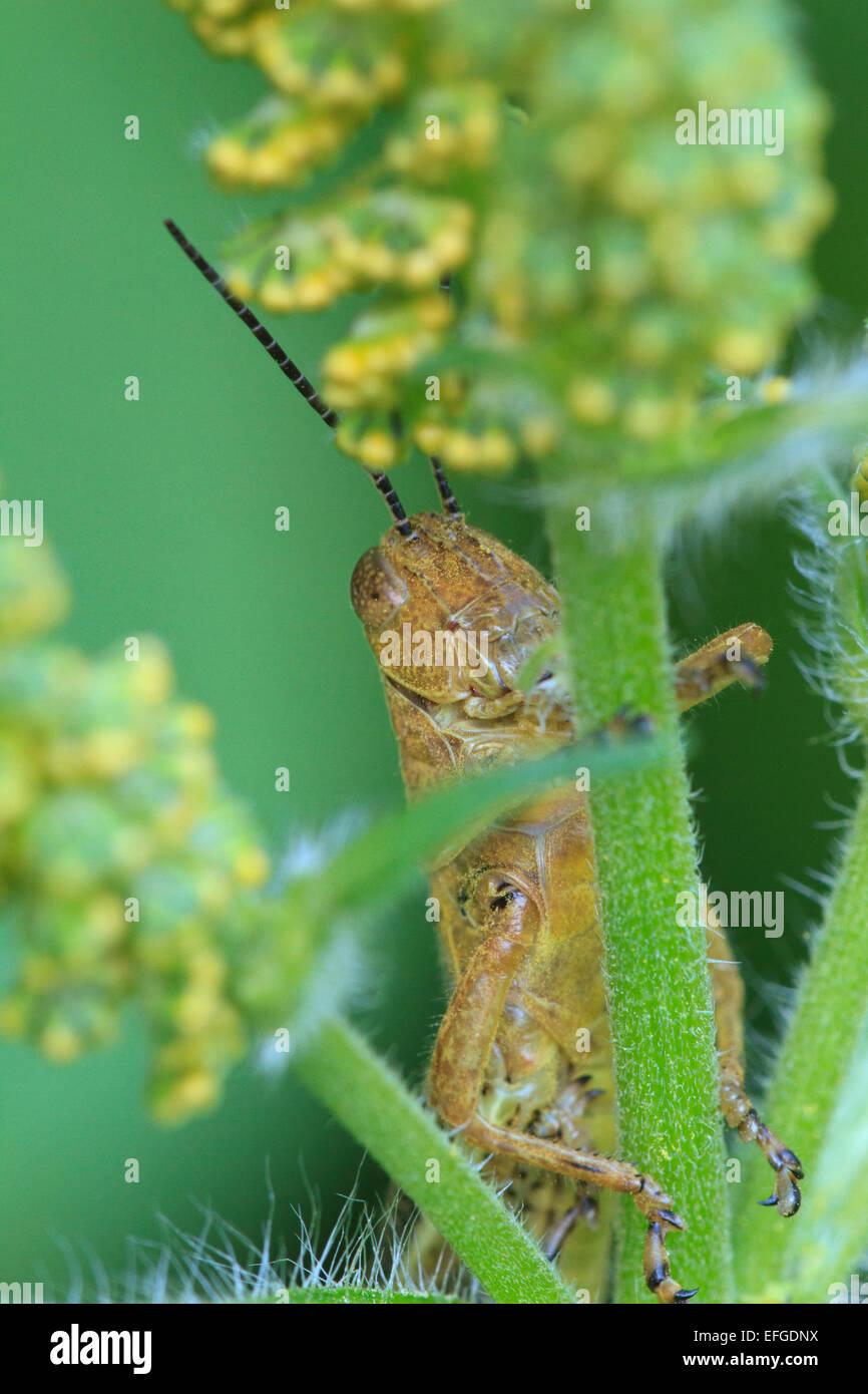 Grasshopper (Melanoplus SP.) am Blütenstiel. Stockfoto