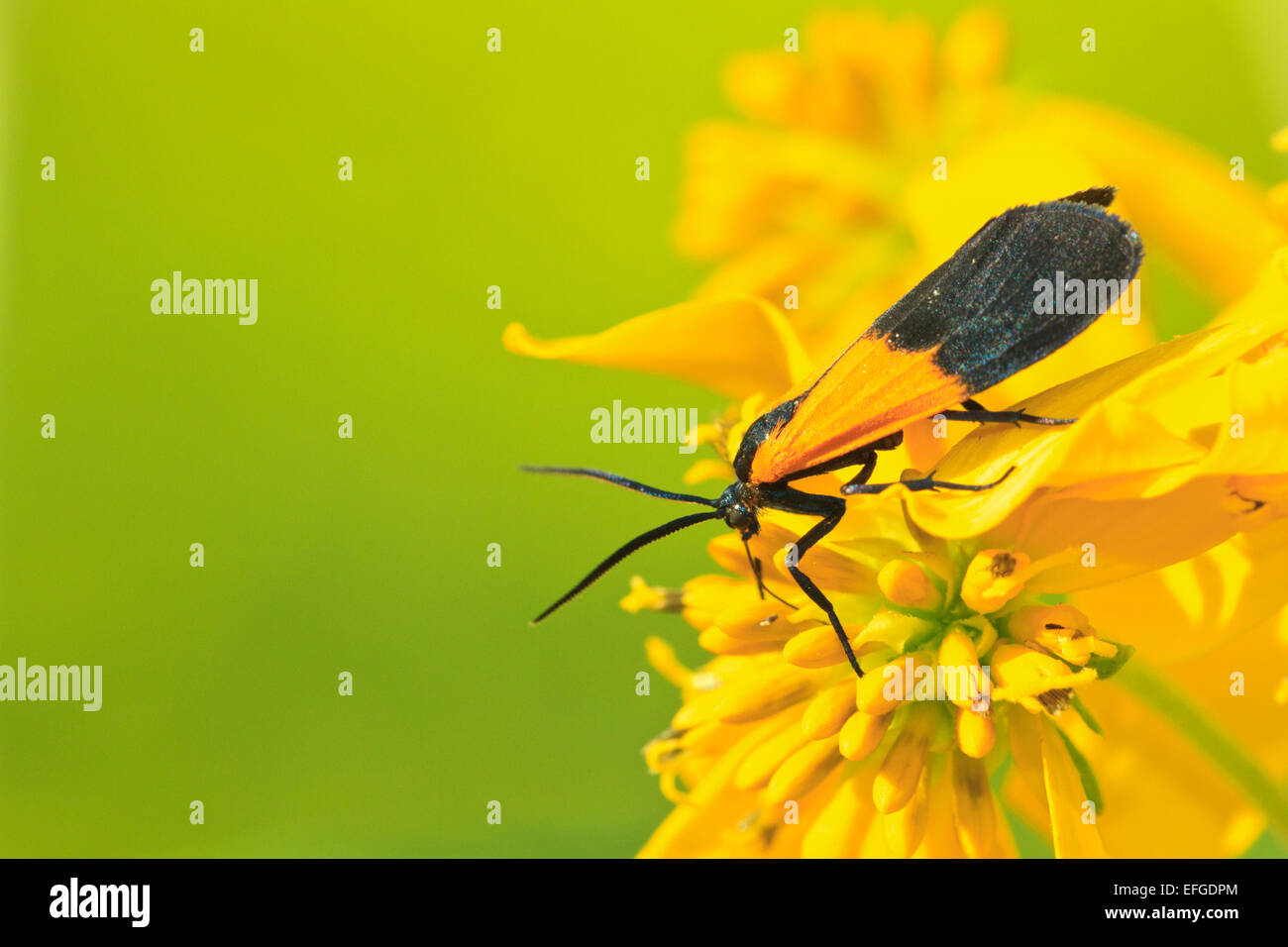 yellow and black moth stockfotos yellow and black moth bilder alamy. Black Bedroom Furniture Sets. Home Design Ideas