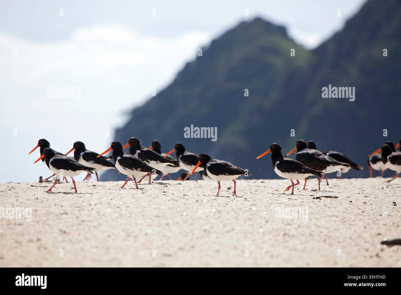 Austernfischer Vögel am Strand mit roten Rechnungen, Awaroa Bucht, Abel Tasman Coastal Track, Great Walks, Stockbild