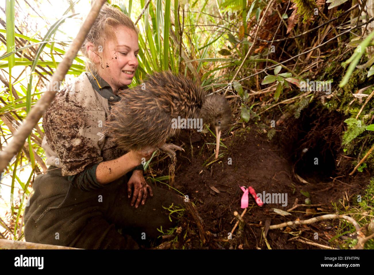 Kiwi gegraben aus seinem Bau von DOC Ranger wechseln der Sender, Tongariro Nationalpark, Nordinsel, Neuseeland Stockbild