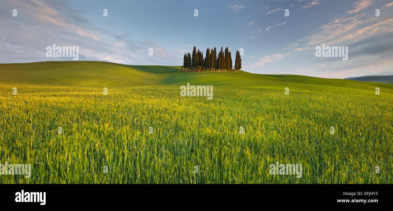 Zypressen in der Nähe von San Quirico Dorcia, Orcia-Tals, Korn Feld, Toskana, Italien Stockbild