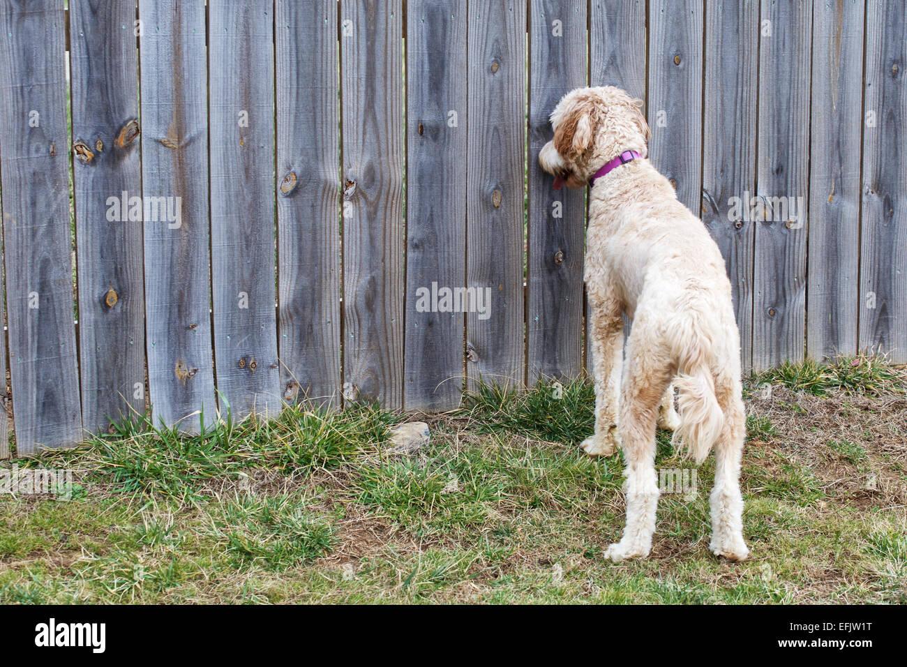 Junge Weibliche Goldendoodle Hund Stehen Im Garten Durch Einen Zaun