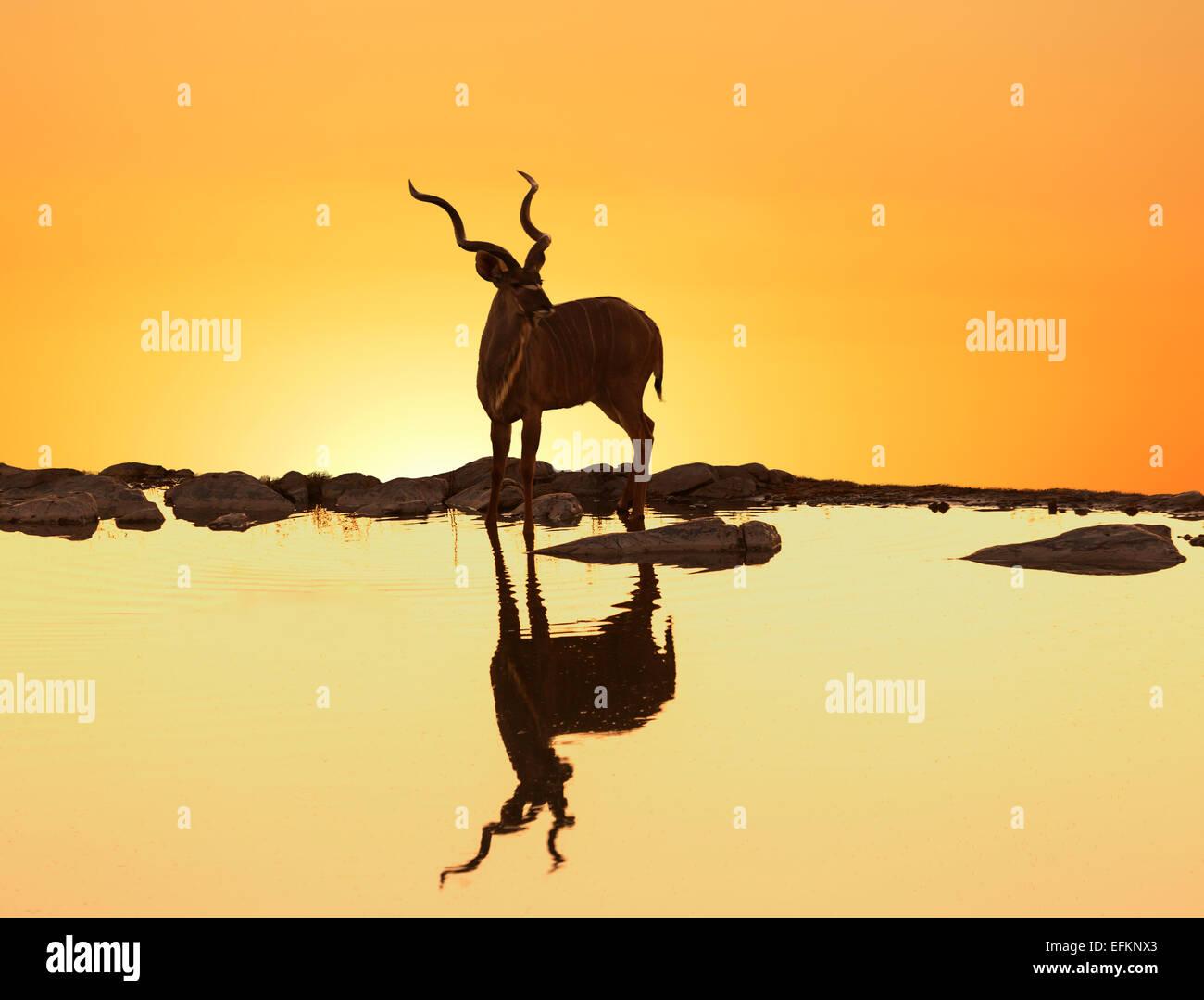 Kudu (Tragelaphus Strepsiceros) reflektiert in einem See bei Sonnenuntergang, Etosha Nationalpark, Namibia Stockbild