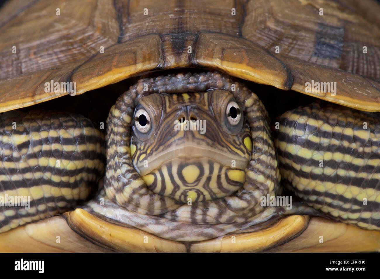 Karte Schildkröte / Graptemys Ouachitensis Stockbild