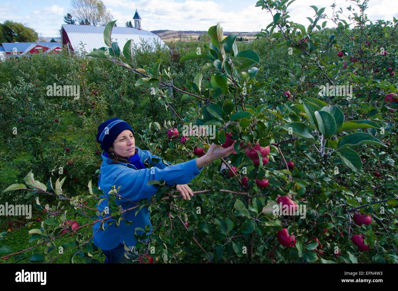 Ein Picker klettert eine Leiter um frisches Obst aus einem Apfelbaum in einem Obstgarten in Lafeyette, New York Stockbild