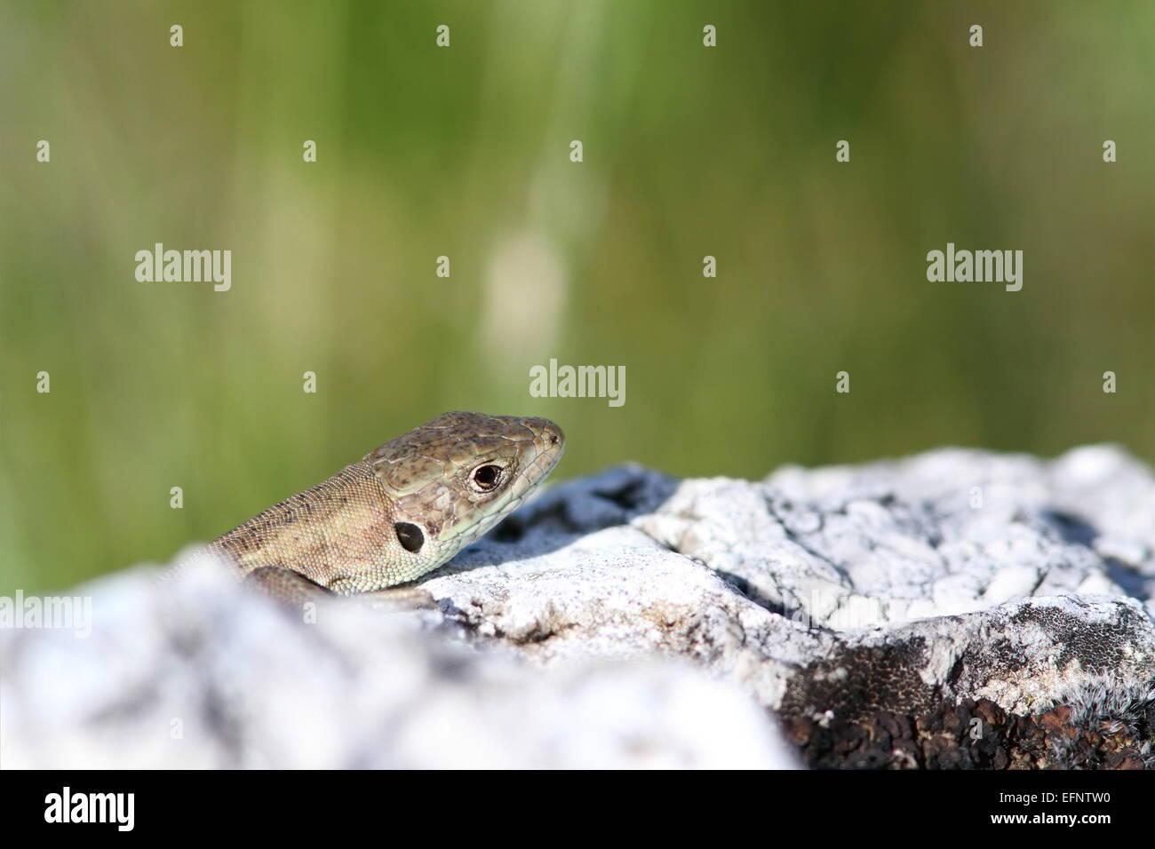 Juvenile Lacerta Viridis (Europäische Grüne Eidechse) versteckt sich hinter Kalkfelsen Stockfoto
