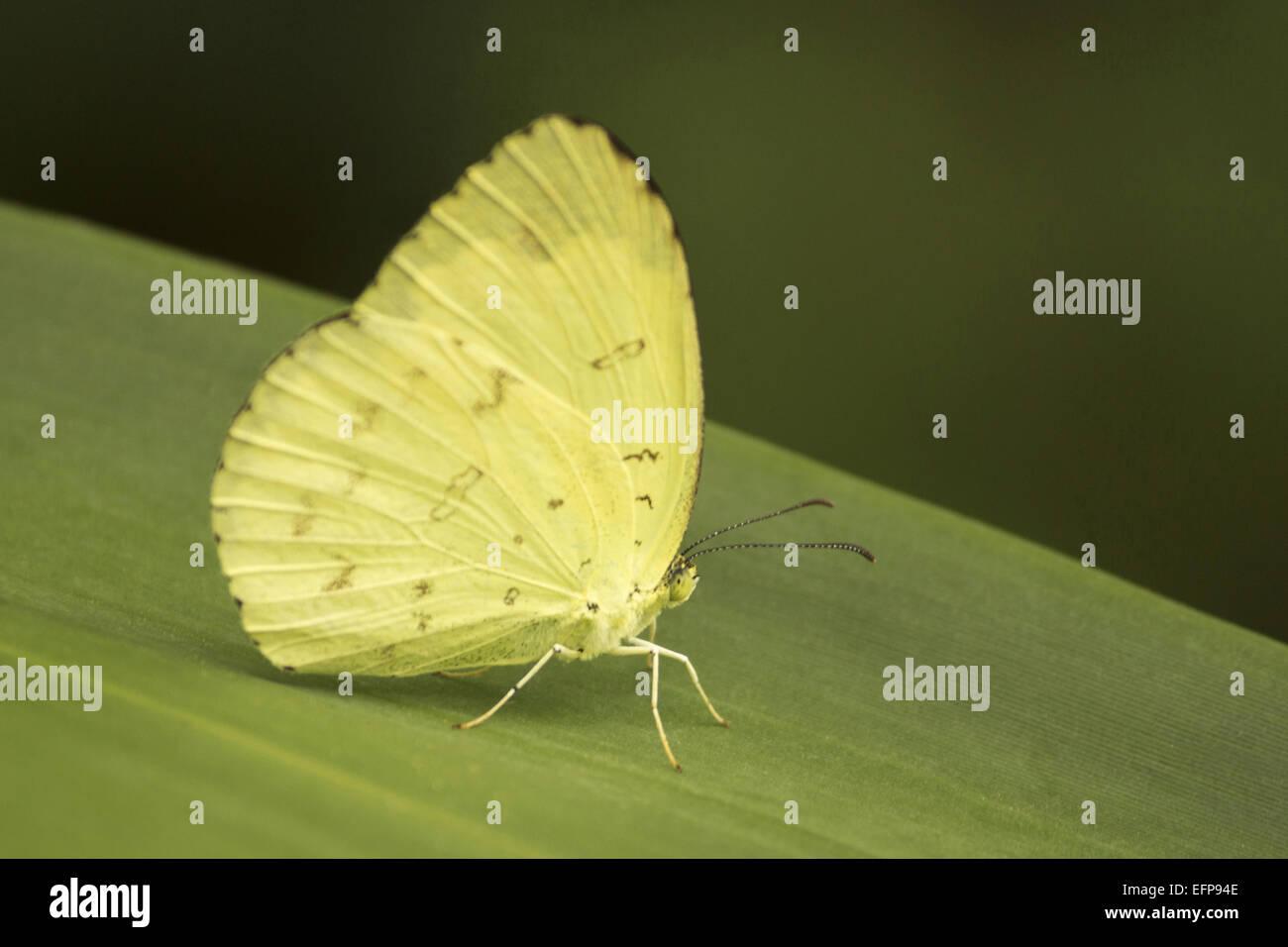 Gemeinsamen Rasen gelb oder großen Rasen gelb Eurema Hecabe Pieridae ...