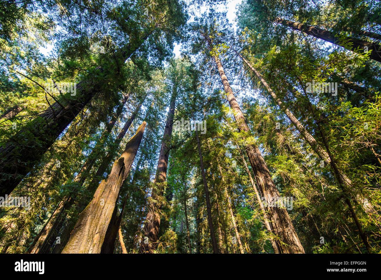 Die Baumkronen der Redwood-Bäume in der Allee der Riesen, Nord-Kalifornien, USA Stockbild
