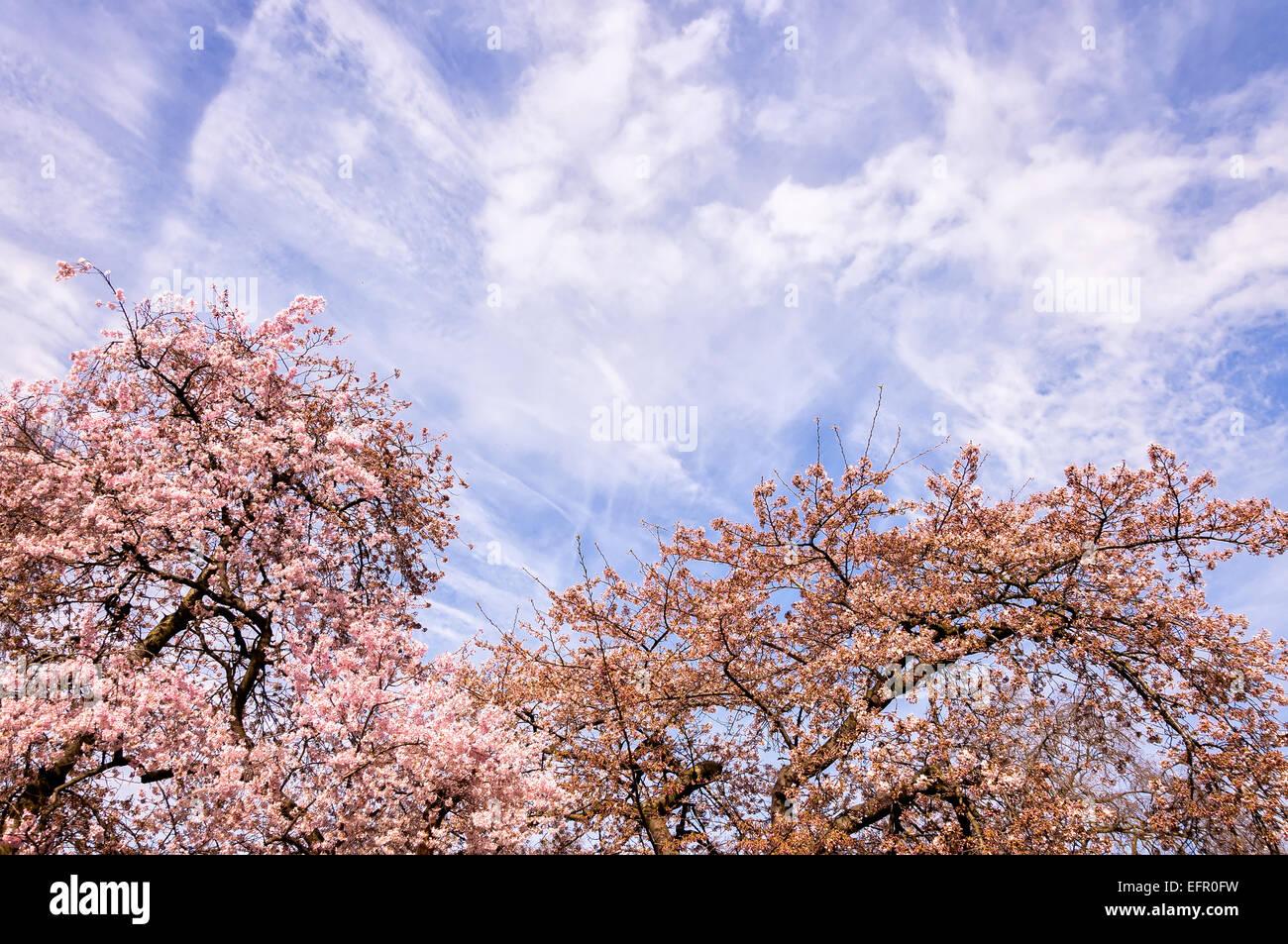 Blühender Zweig im Frühling und bewölktem Himmel als Hintergrund Stockbild