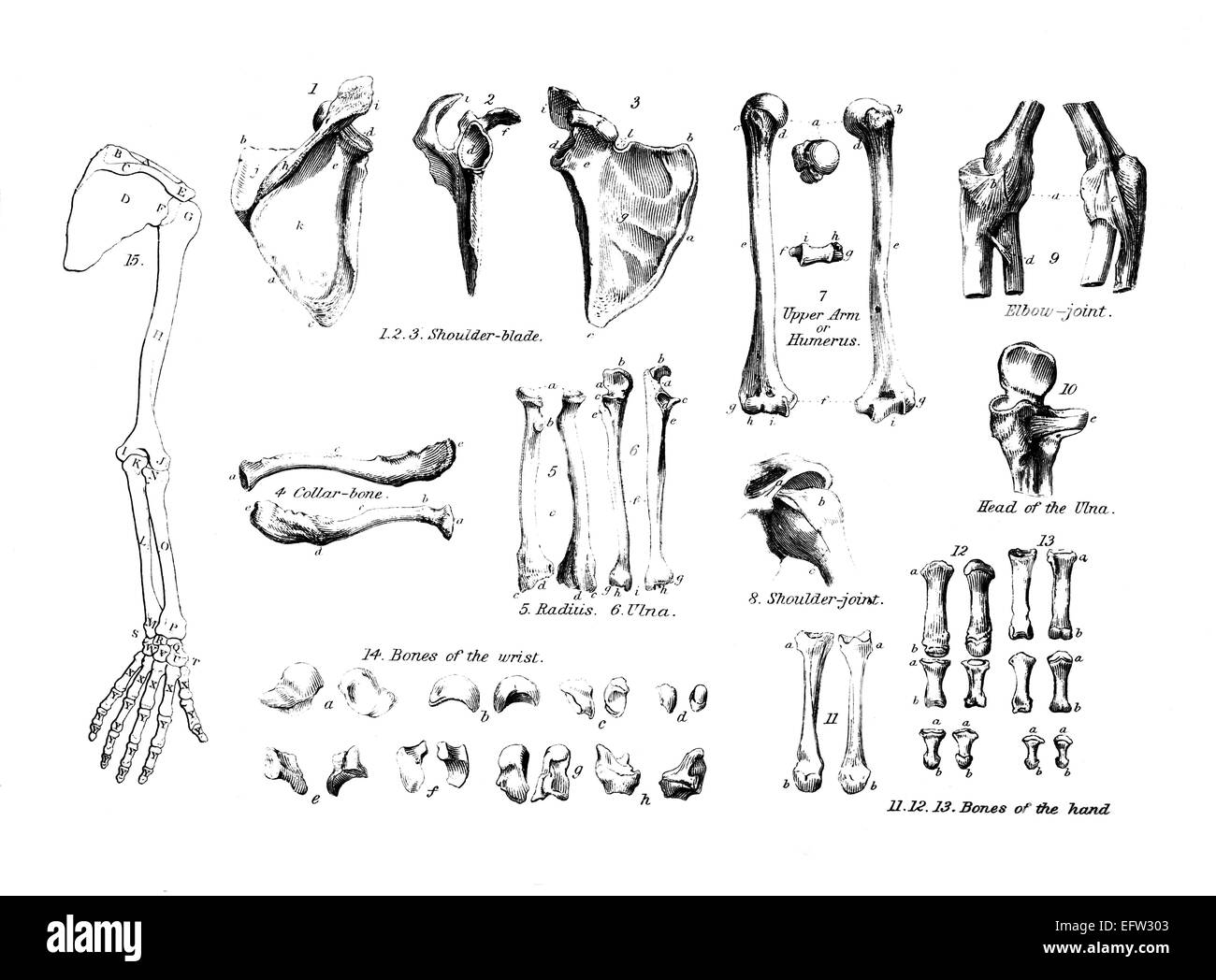 Viktorianische Gravur der Anatomie des menschlichen Armes. Digital ...