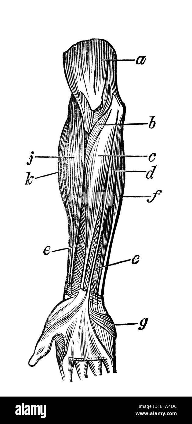 Viktorianische Gravur der Muskeln des menschlichen Arms. Digital ...