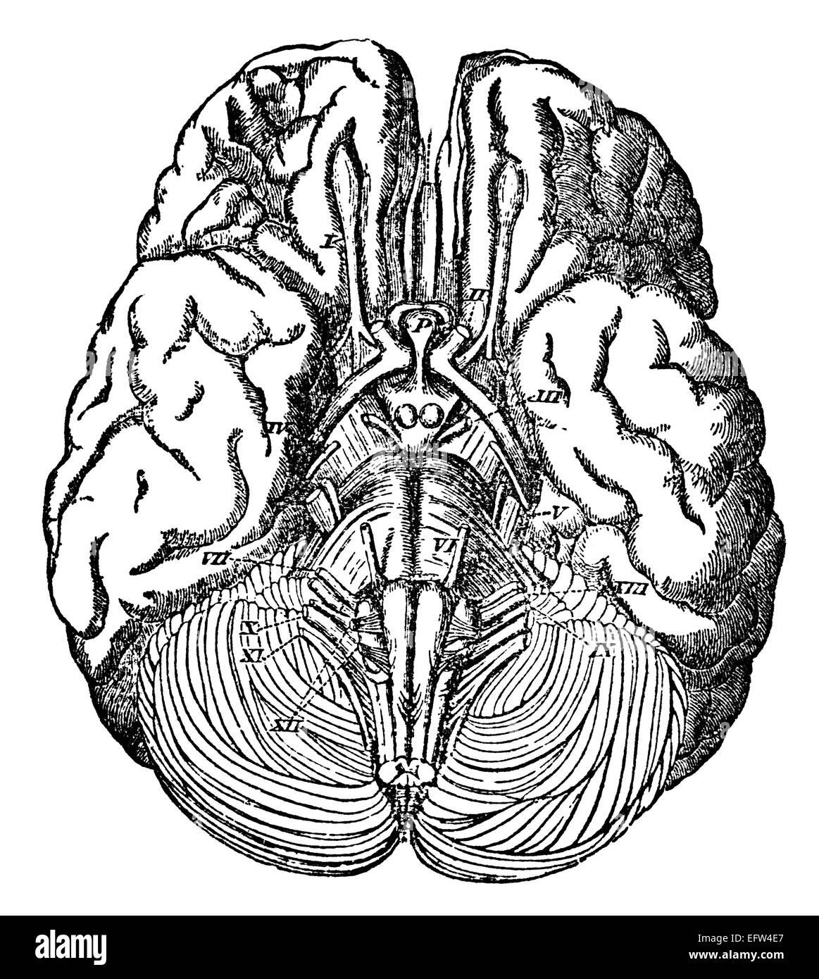 Ungewöhnlich Mitte Der Anatomie Des Gehirns Fotos - Menschliche ...