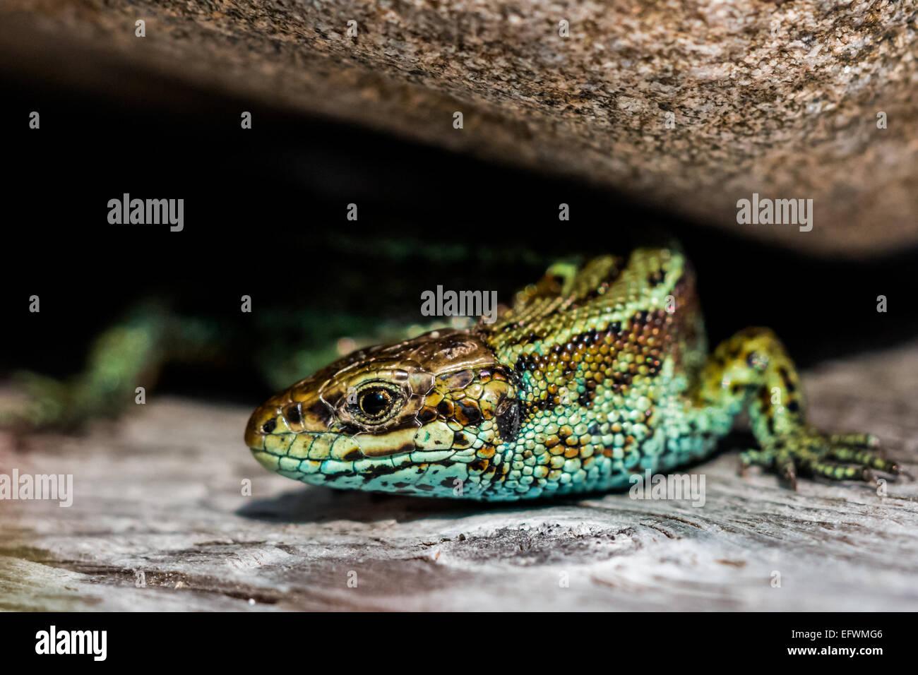 Vivipare Smaragdeidechse (Zootoca Vivipara) Stockfoto