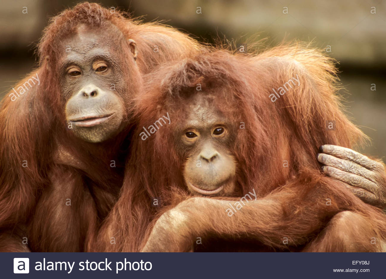 Sumatra Orang-Utan, Dublin Zoo, Irland Stockfoto