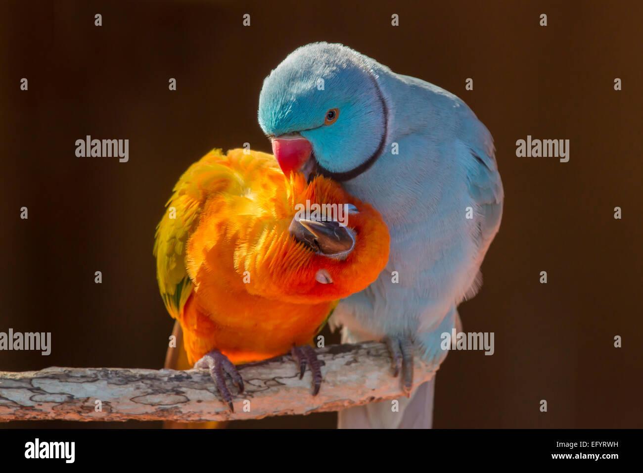 Paar kleine bunte Papagei unzertrennlichen Agapornis Pflege miteinander Stockbild