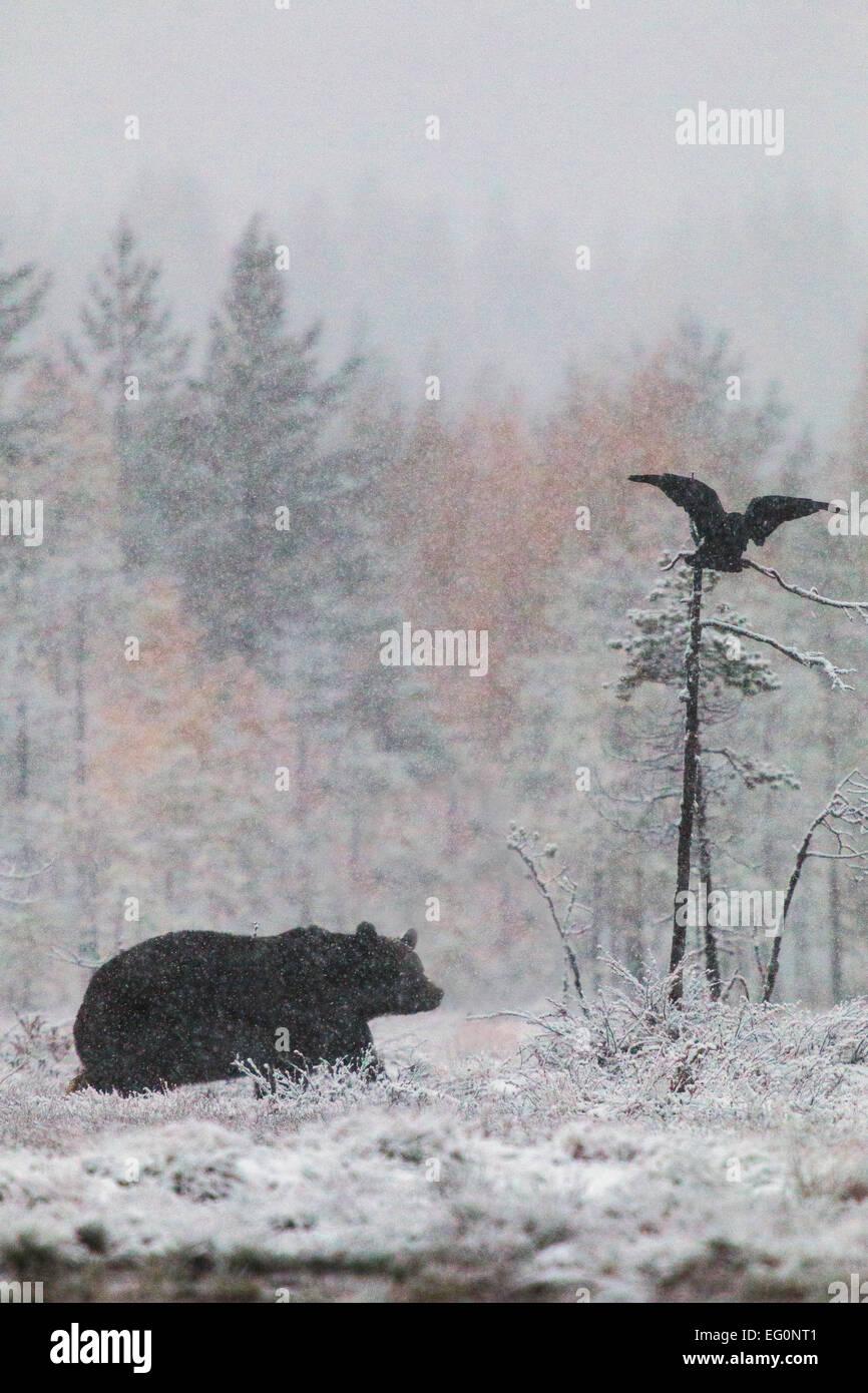 Brauner Bär, Ursus Arctos, Wandern im Wald im Schneesturm und einen Raben fliegen oben mit Birken in gelben Stockbild