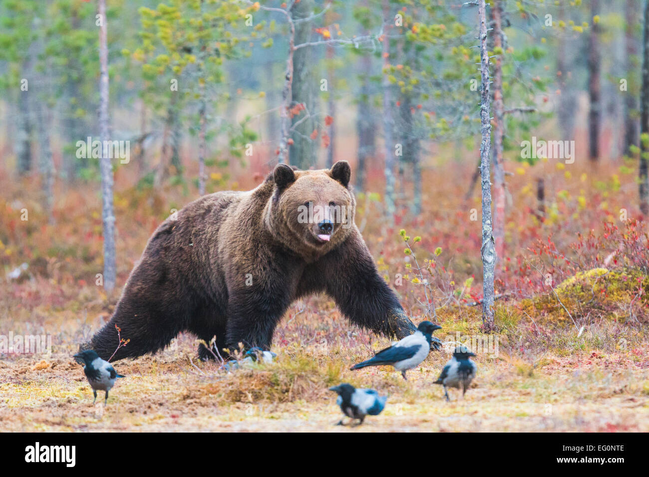 Brauner Bär, Ursus Arctos, walking in rot im Herbst farbige Büsche und fünf Krähen sind auf Stockbild