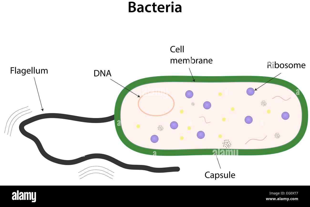 Bakterien beschrifteten Diagramm Vektor Abbildung - Bild: 78697031 ...