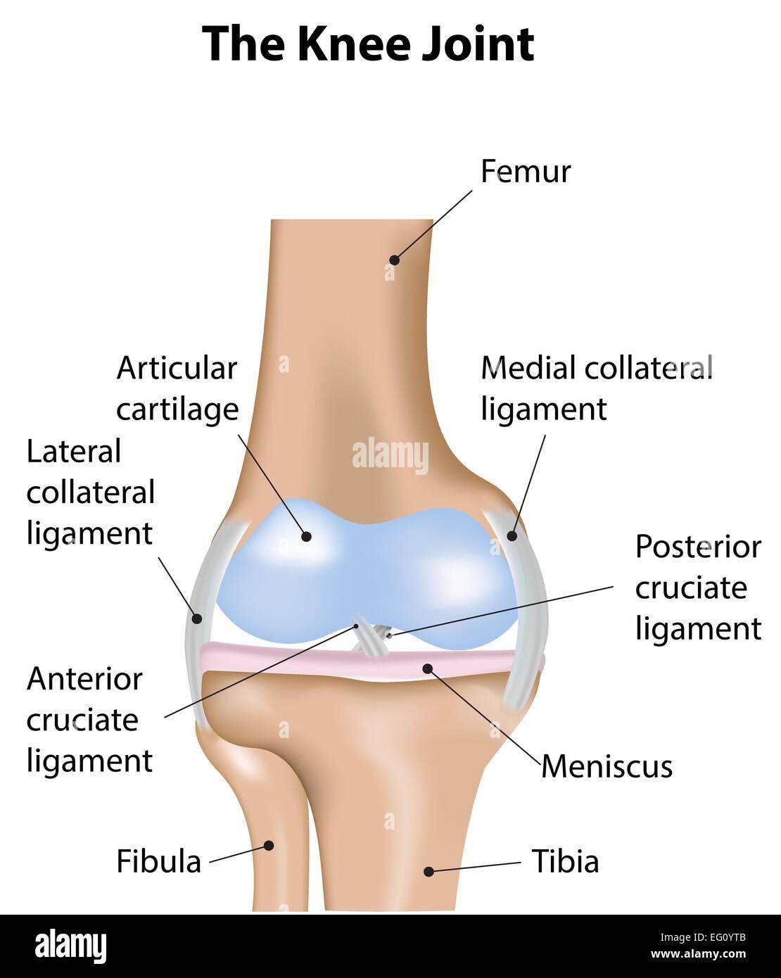 Das Kniegelenk Vektor Abbildung - Bild: 78697819 - Alamy
