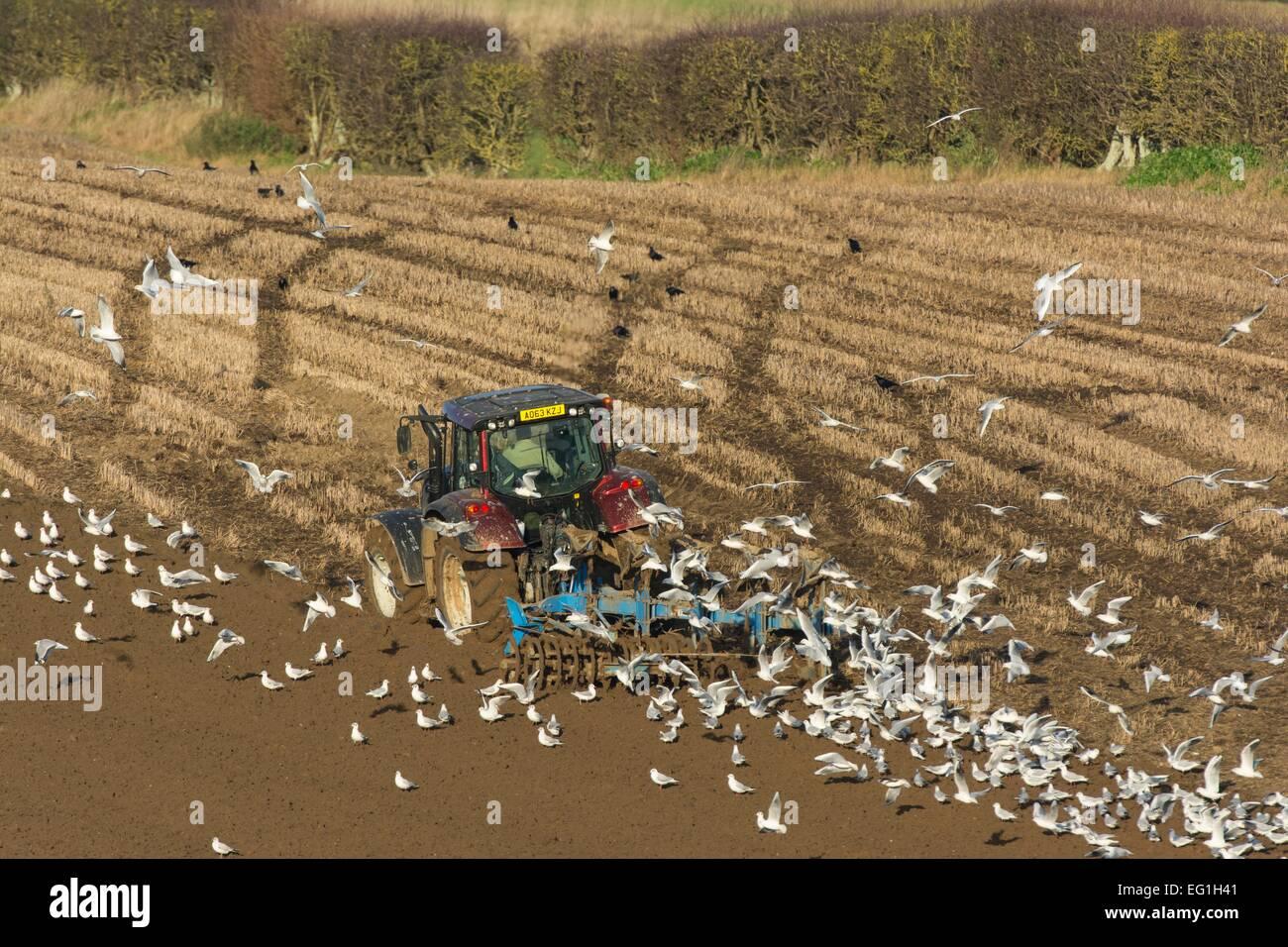 Valtra T 163 Traktor Pflügen in Weizen Stoppeln, Norfolk, Januar Stockbild