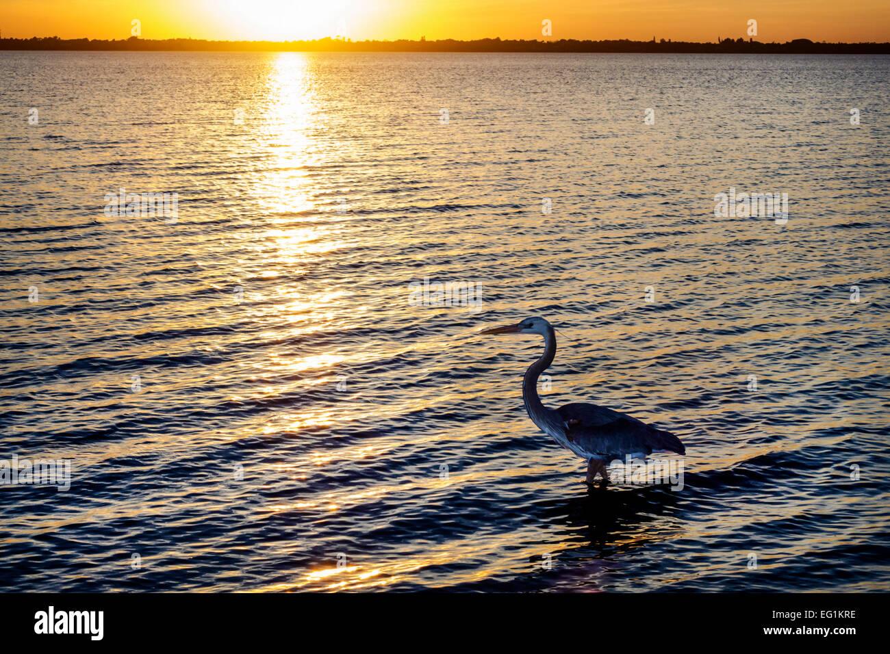 Florida Jensen Beach Indian River Lagune Great Blue Heron waten Wasser silhouette Stockfoto