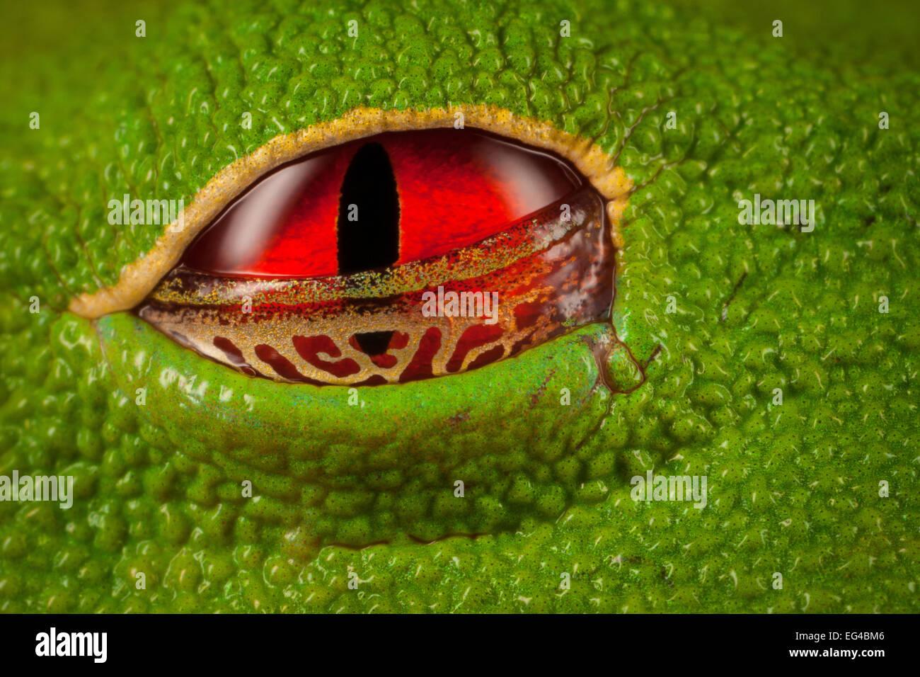 Rotäugigen Baumfrosch (Agalychnis Callidryas) Close-Up Augen halb offen, die das goldene Schwimmhäute Stockbild