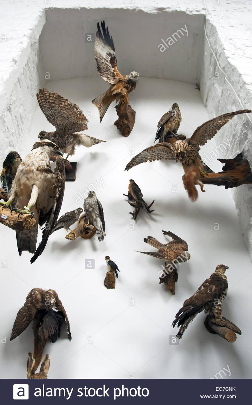 Gefüllte europäischen Greifvögel an Wand montiert Stockbild