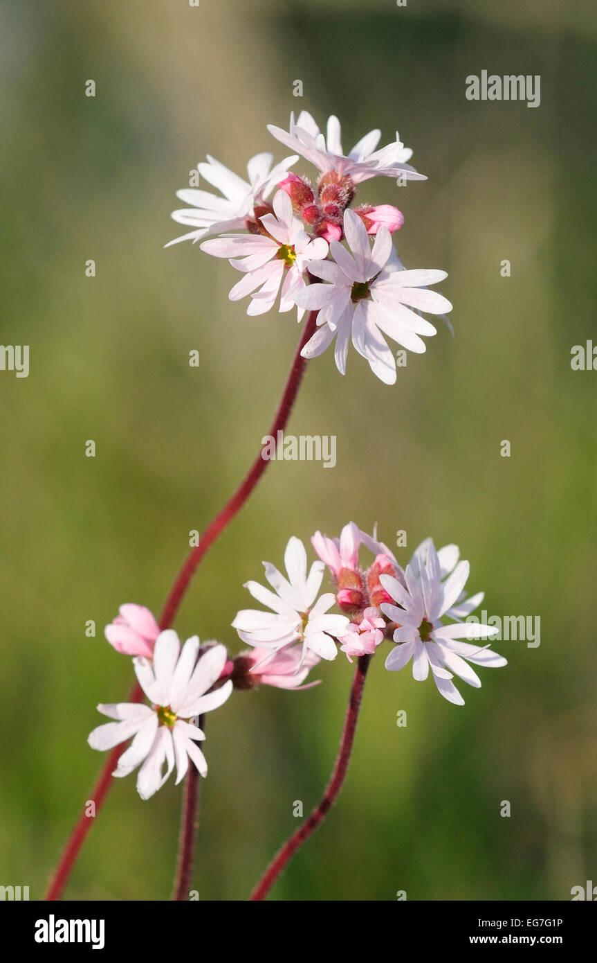 Kleinen blühenden Wald Stern (Lithophragma Parviflora) Stockbild