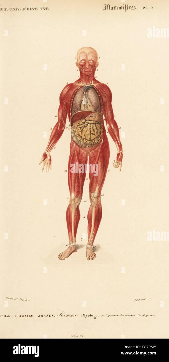 Human Internal Organs Stockfotos & Human Internal Organs Bilder - Alamy