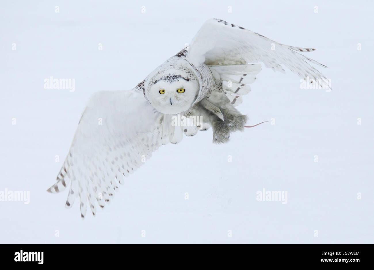 Schneeeule im Flug mit Beute Stockbild