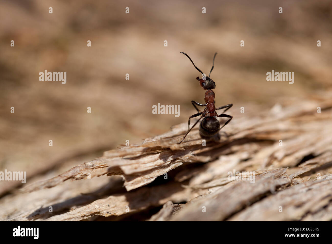 rote Ameisen (Formica Rufa) sitzen auf Rinde Stockbild