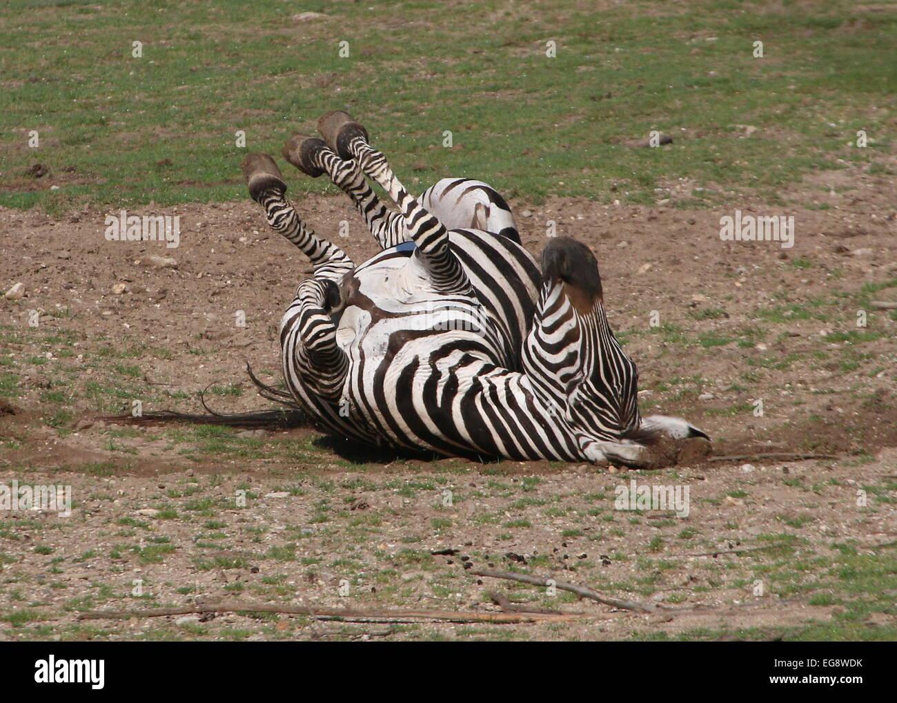 Ältere männliche Grant-Zebra (Equus Quagga Boehmi) auf den Rücken Rollen und Staub baden Stockfoto
