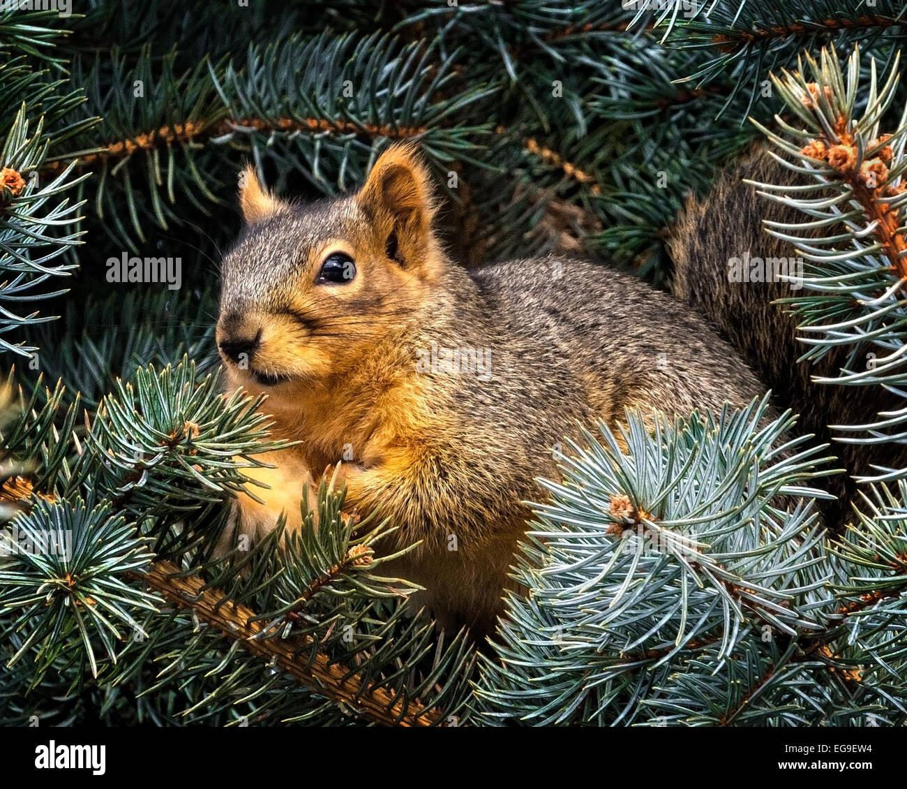 Nahaufnahme des Eichhörnchens in Tannenzweigen Stockbild