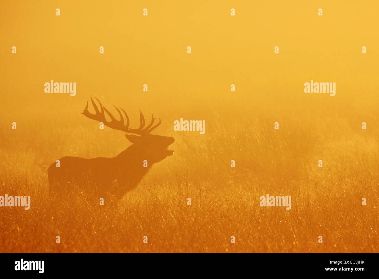 Rotwild-Hirsch brüllen bei Sonnenaufgang. Richmond Park in London Stockfoto