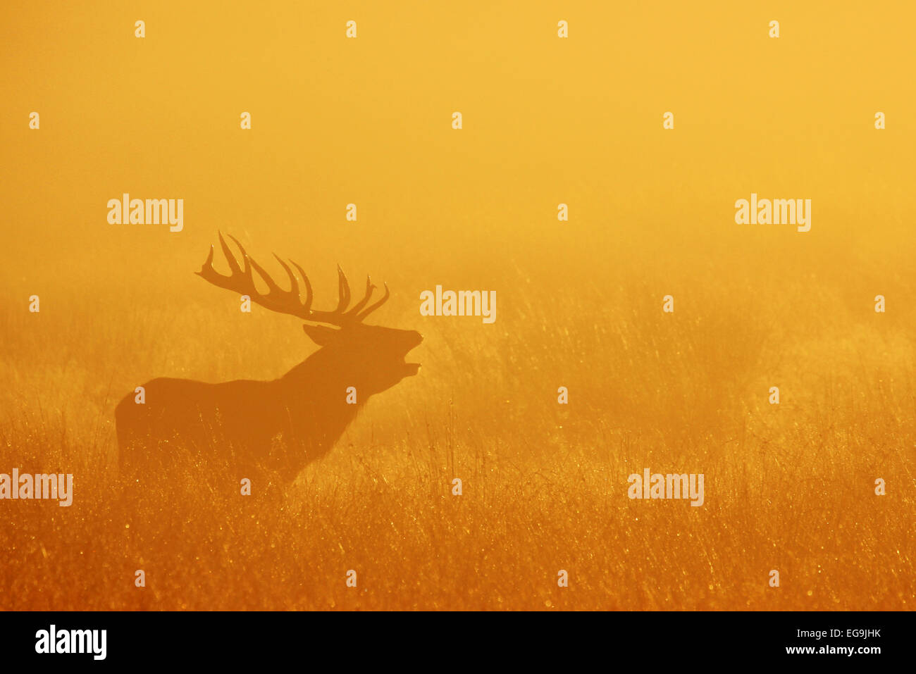 Rotwild-Hirsch brüllen bei Sonnenaufgang. Richmond Park in London Stockbild