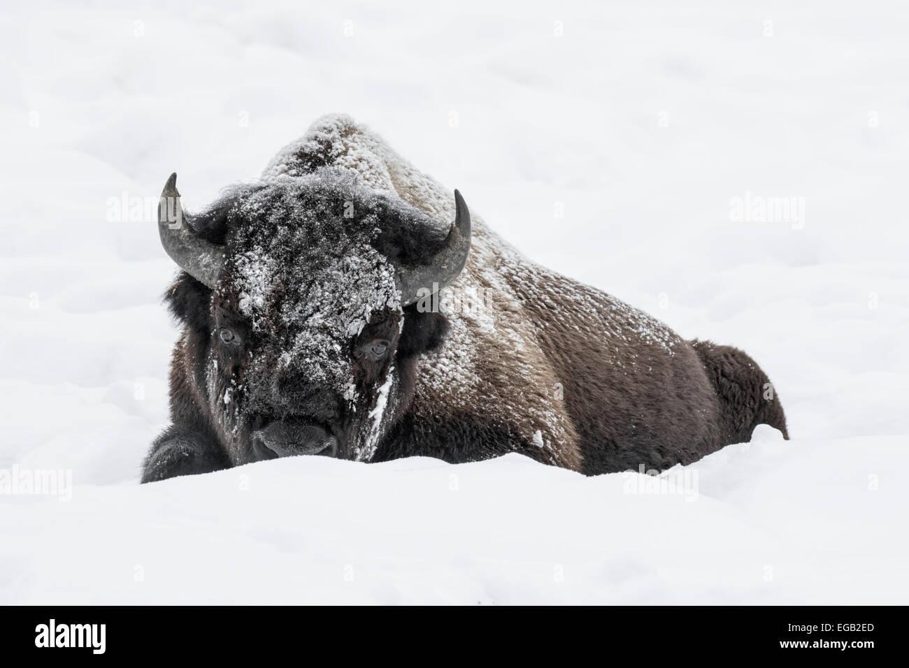 bison lying stockfotos bison lying bilder alamy. Black Bedroom Furniture Sets. Home Design Ideas