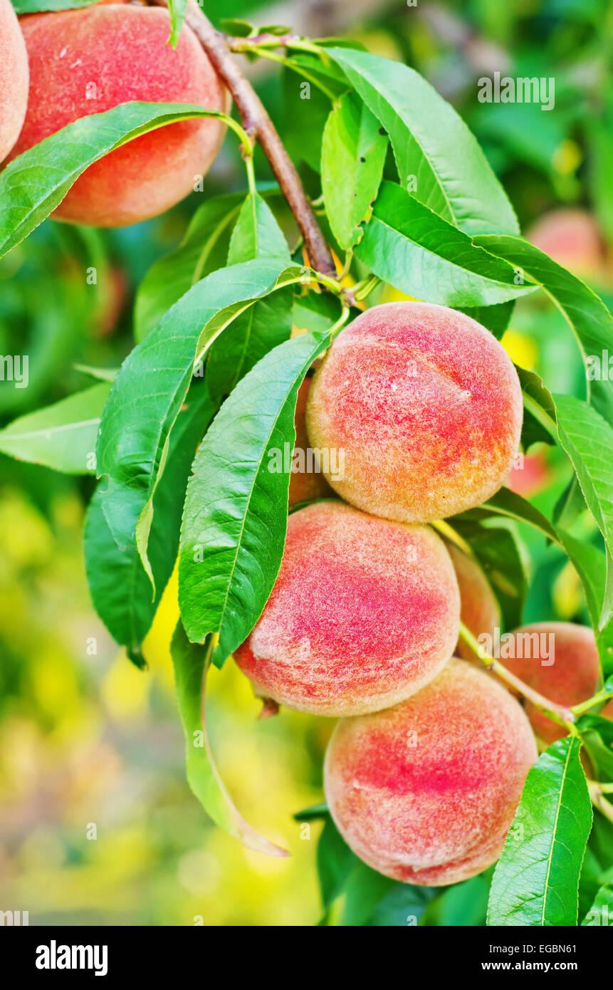 Nektarine Im Garten: Pfirsich Auf Baum Stockfoto, Bild: 78934073