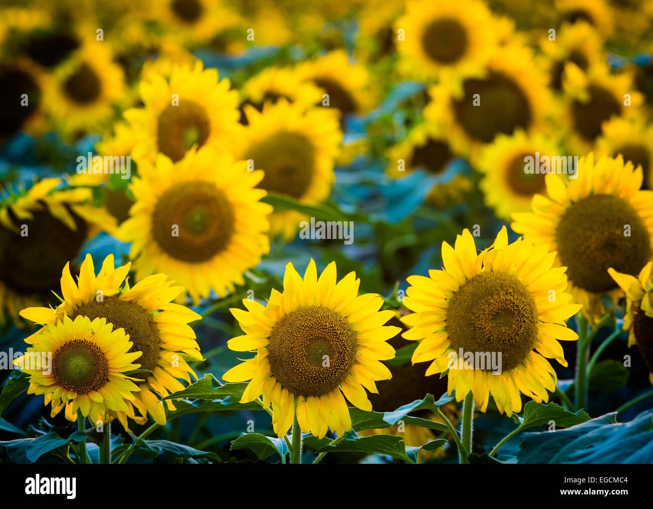 Sonnenblumen in Waxahachie im nördlichen Texas Stockbild