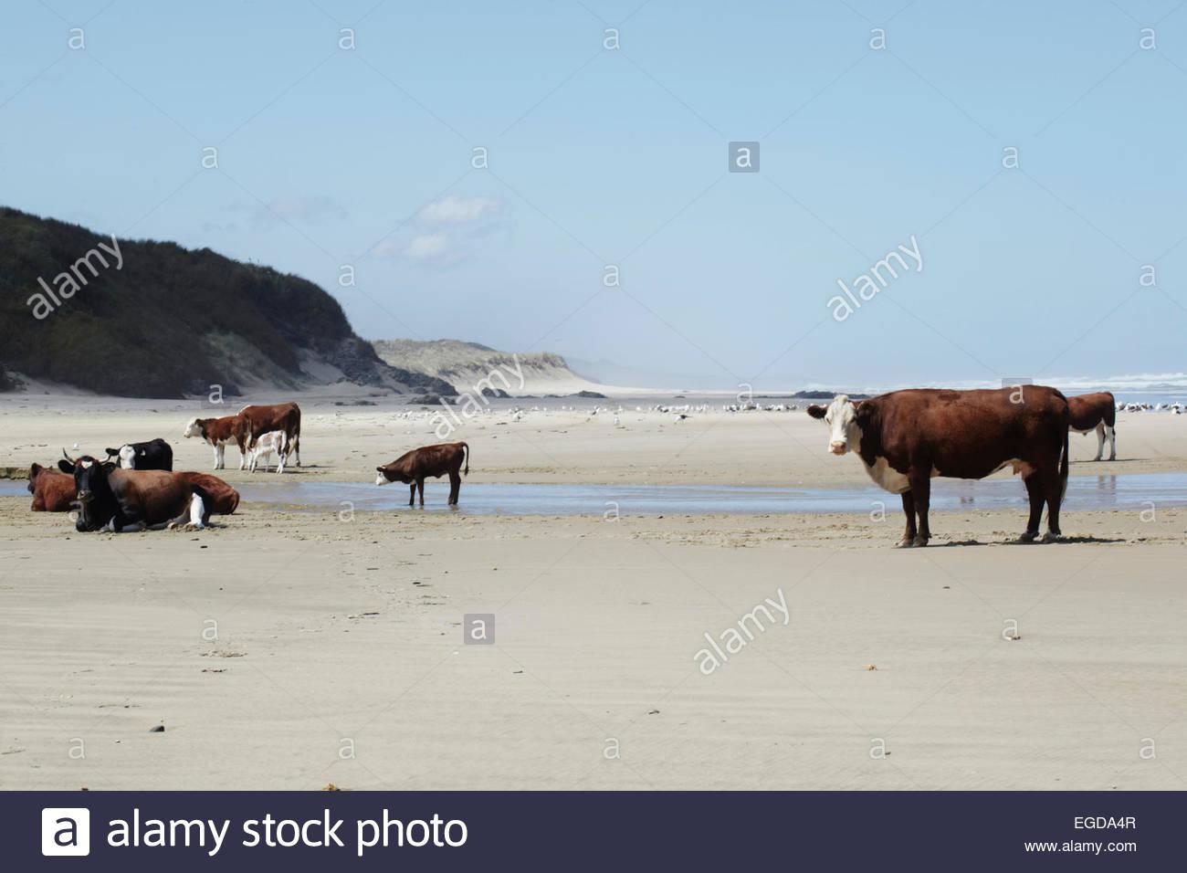 Rinder am Strand, Hokianga Bay, North Island, Neuseeland Stockfoto