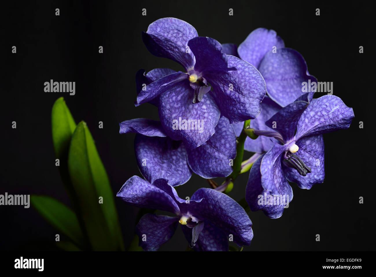 Dunkel blaue Vanda Pachara Delight Hybrid Orchidee Blume auf schwarzem Hintergrund Stockbild