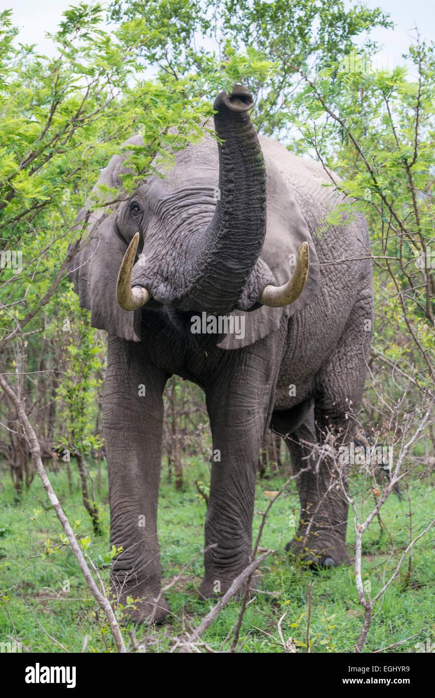 Afrikanischer Elefant (Loxodonta Africana) mit seinem Rüssel, aufgewachsen in Bedrohung Verhalten, Krüger Stockbild
