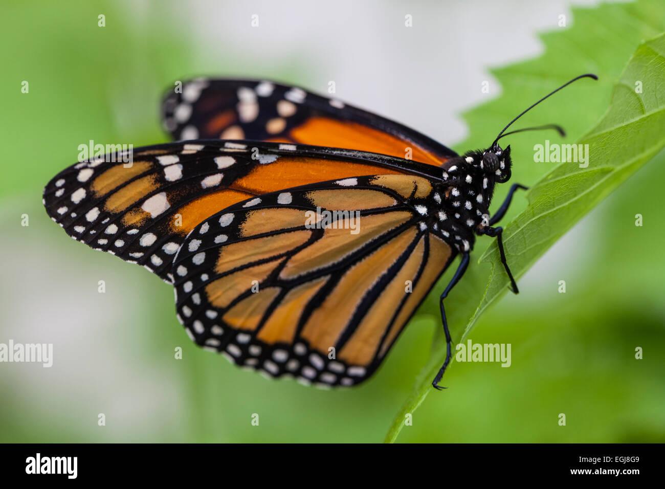 danaus plexippus monarch nymphalidae danainae schmetterling orange schwarz wei e blume insekt. Black Bedroom Furniture Sets. Home Design Ideas