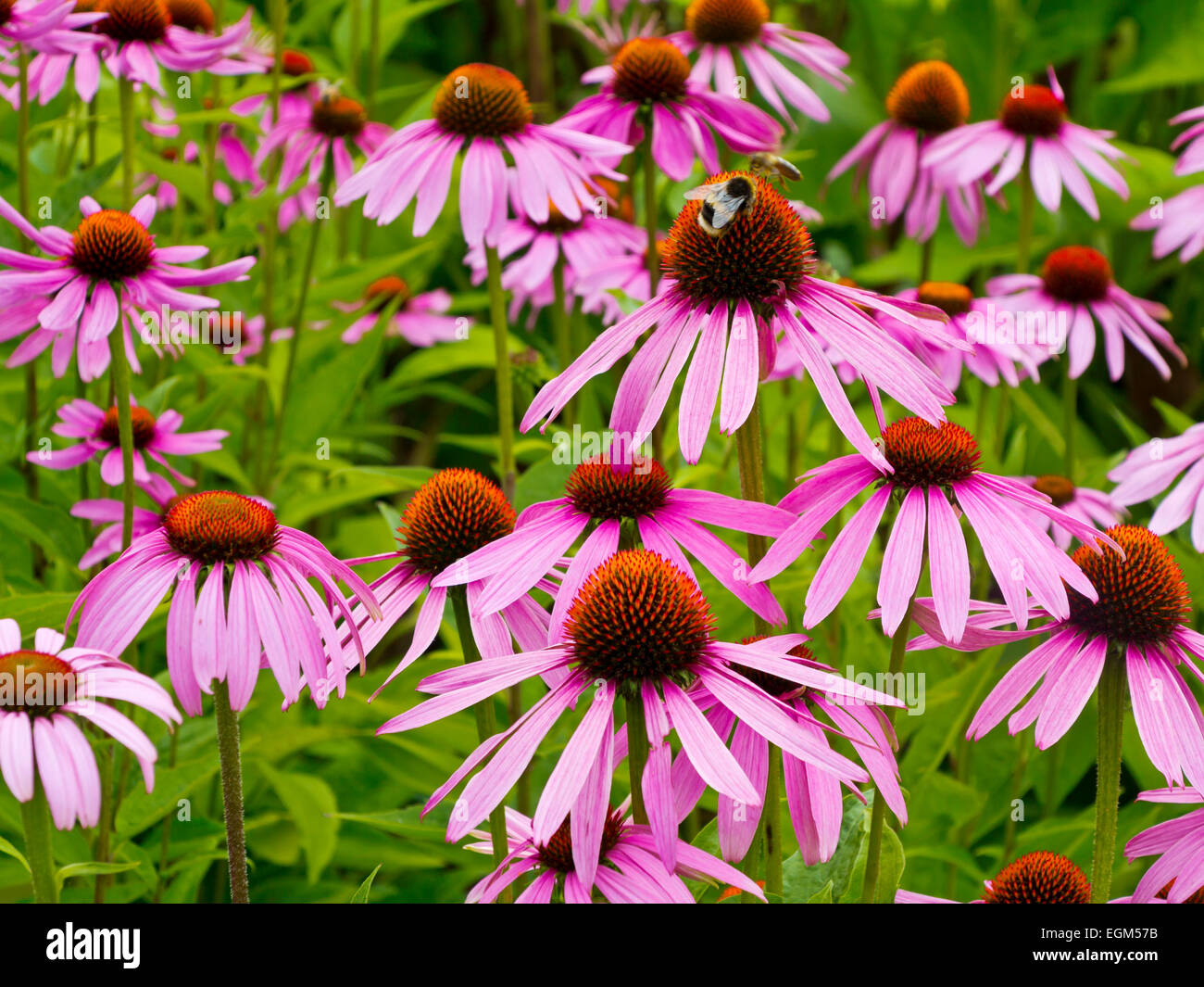 biene auf echinacea purpurea blumen wachsen im sommer eine. Black Bedroom Furniture Sets. Home Design Ideas